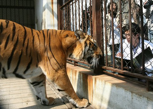 the south china tiger essay The indochinese tiger, the sumatran tiger, the south china tiger, the malayan tiger and siberian  tigers sleep a very long  elementary essay.