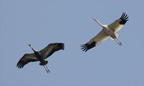 A Siberian crane flies over Wild Duck Lake Nature Reserve