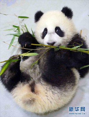 Baby Panda Learns To Eat Bamboo At Taiwan Zoo Global Times