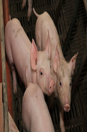 Pigs being raised at the Mahota Farm on Chongming Island Photos: Courtesy of the farm