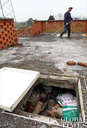 A worker walks past a pig carcass hole. Photo: Yang Hui / GT