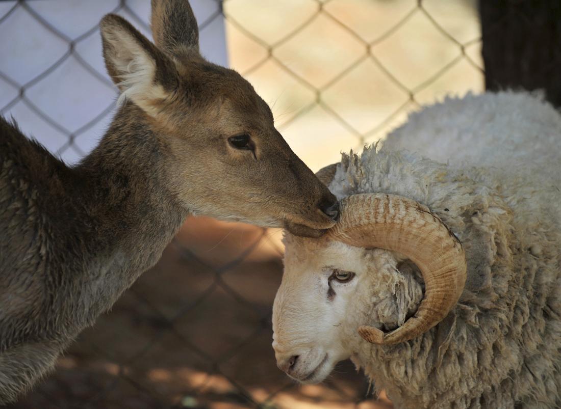 Сношение с овцой 23 фотография