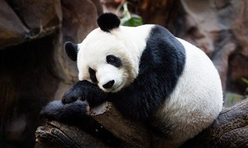 A panda rests on a tree branch in a Beijing zoo on November 8. Photo: CFP