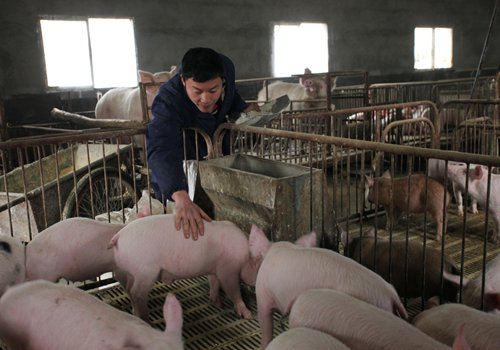 A man feeds pigs at Ankang, Northwest China's Shaanxi Province in January. Photo: CFP