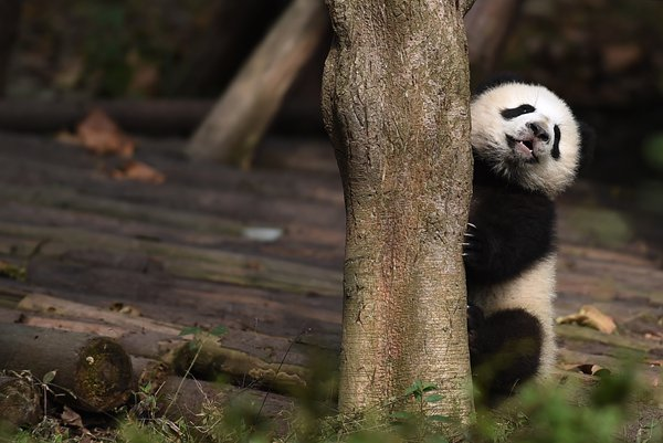 fe54b2dbcd52 A baby panda plays at the Chengdu Research Base of Giant Panda Breeding