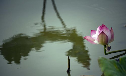 Lotus Flowers Observed In Chinas Taiwan Global Times