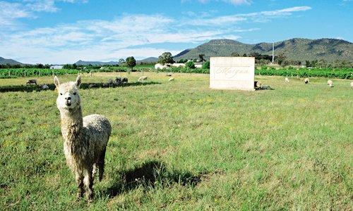 Alpacas from Australia help China's poverty alleviation