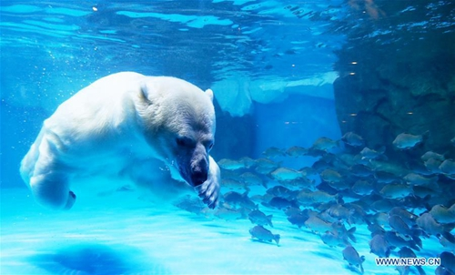 "Polar bears celebrate Chinese Lantern Festival by enjoying ""sweet dumplings"" in Shanghai"
