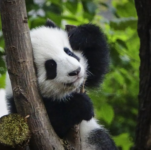 Training of captive giant pandas to go into the wild yields results, but not without setbacks