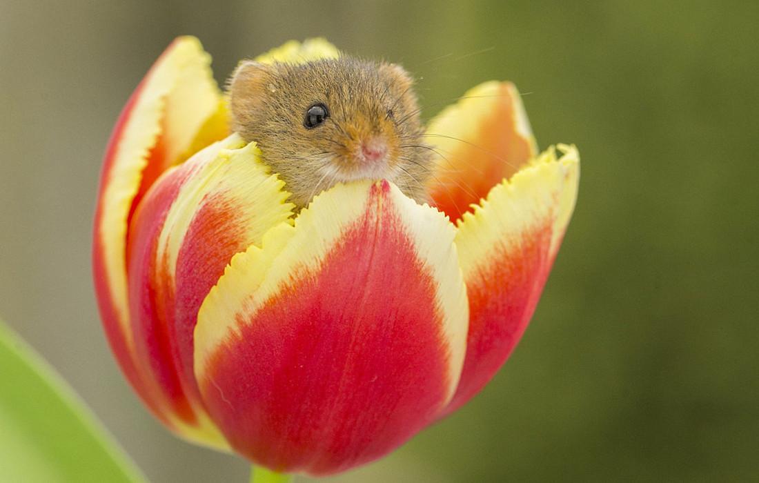 Harvest Mice Play Inside Tulips