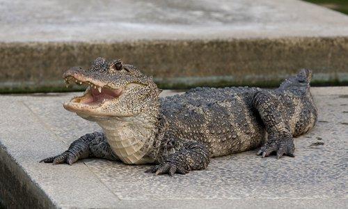 Habitat of endangered alligator encroached upon in Anhui - Global Times