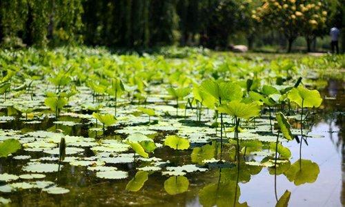 Greening efforts transform saline-alkaline marsh into botanical garden in Tianjin - Global Times