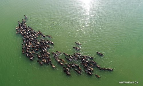 Over 100 buffalos swim across Jialing River after grazing on island