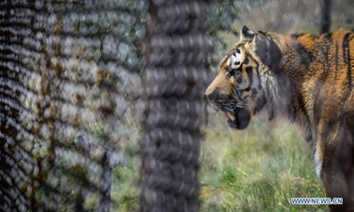 Tiger escapes caged circus performance, dies after capture