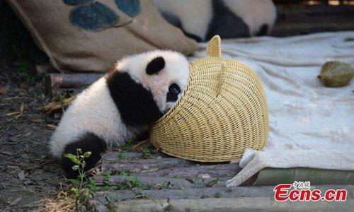 Panda cub wrestles with basket
