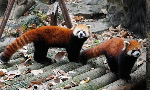 Two Red Pandas