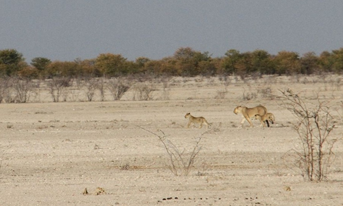 Six lions escape from Namibia's largest park