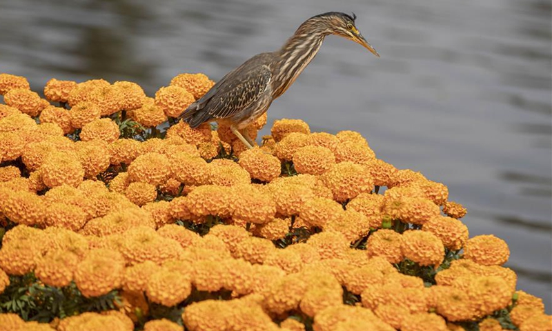 A bird stands on cempasuchil (Mexican marigold) flowers in Xochimilco, Mexico City, Mexico, on Oct. 13, 2020. The Cempasuchil flower is used in Mexico to celebrate the Day of the Dead. (Photo by Ricardo Flores/Xinhua)