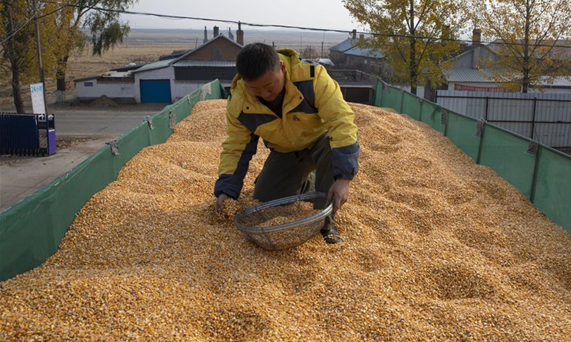 A worker examines corns in Ning'an City, northeast China's Heilongjiang Province, Oct. 27, 2020. Autumn harvest in Ning'an has mostly finished, while food processing enterprises hum. (Xinhua/Zhang Tao)