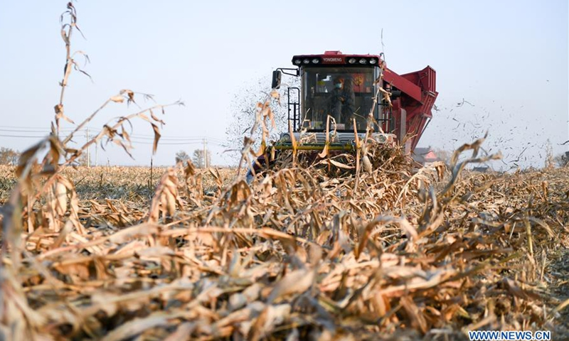A farmer drives a combine harvester to reap corn crops in Sunjiatun Village of Nongan County, Changchun, northeast China's Jilin Province, Oct. 29, 2020. Jilin Province has entered the final phase of autumn harvest as agricultural producers finished gathering 96.3 percent of the season's crops.Photo:Xinhua