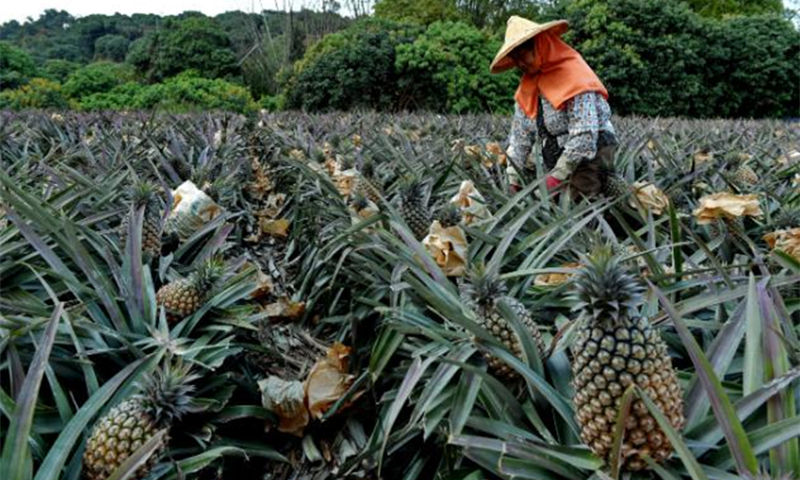 A farmer in Kaohsiung harvests pineapples in March 2019. (Photo: Xinhua)