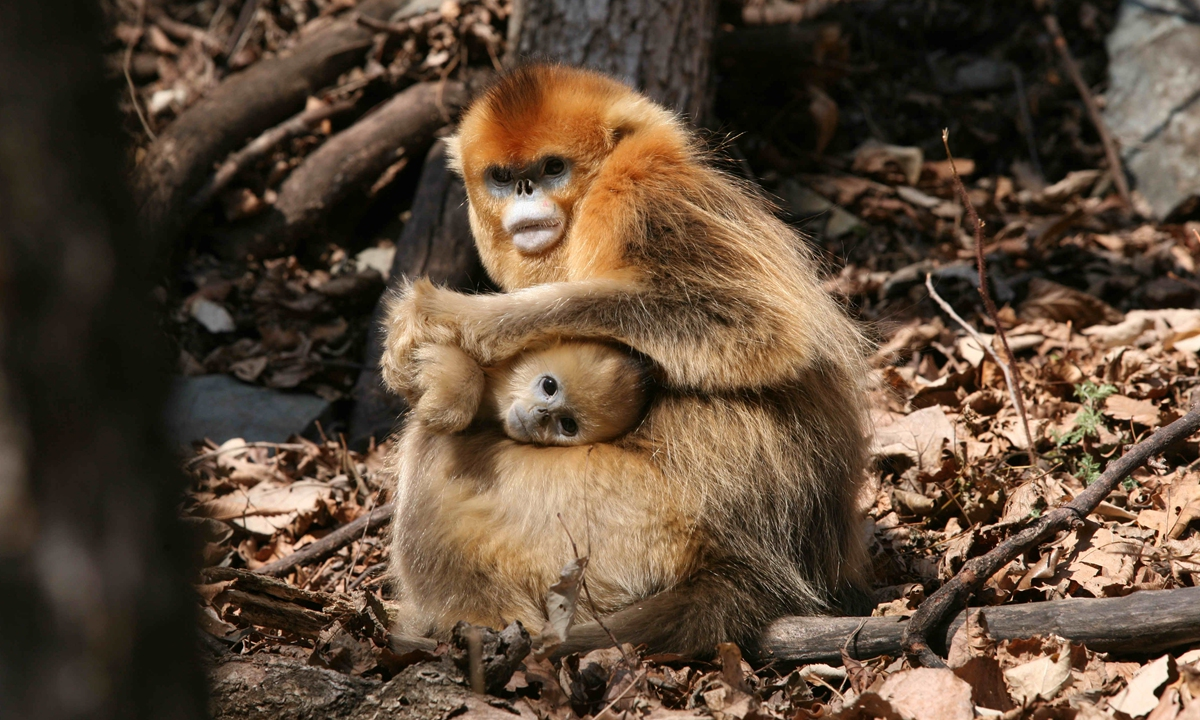 A golden snub-nosed monkey in Qinling Mountains in Northwest China's Shaanxi Province Photo: Courtesy of Guo Songtao