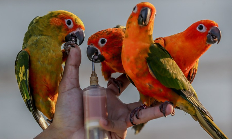 An avian enthusiast trains his pet parrots during their free flight activity in Manila, the Philippines on March 7, 2021.(Photo: Xinhua)