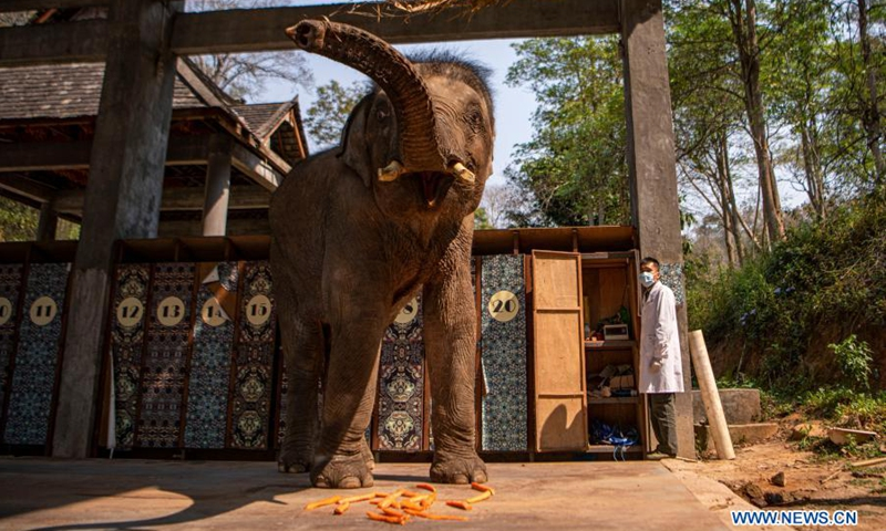 A wildlife conservation worker measures the weight of an Asian elephant named Xiaoqiang at the Asian Elephant Breeding and Rescue Center in Xishuangbanna Dai Autonomous Prefecture, southwest China's Yunnan Province, March 6, 2021. The Asian elephants, which are under first-class national protection with a population of less than 400 in China, are mainly found in Yunnan. Wildlife conservation workers at the Asian Elephant Breeding and Rescue Center have dedicated themselves to improving the welfare of the species.(Photo: Xinhua)