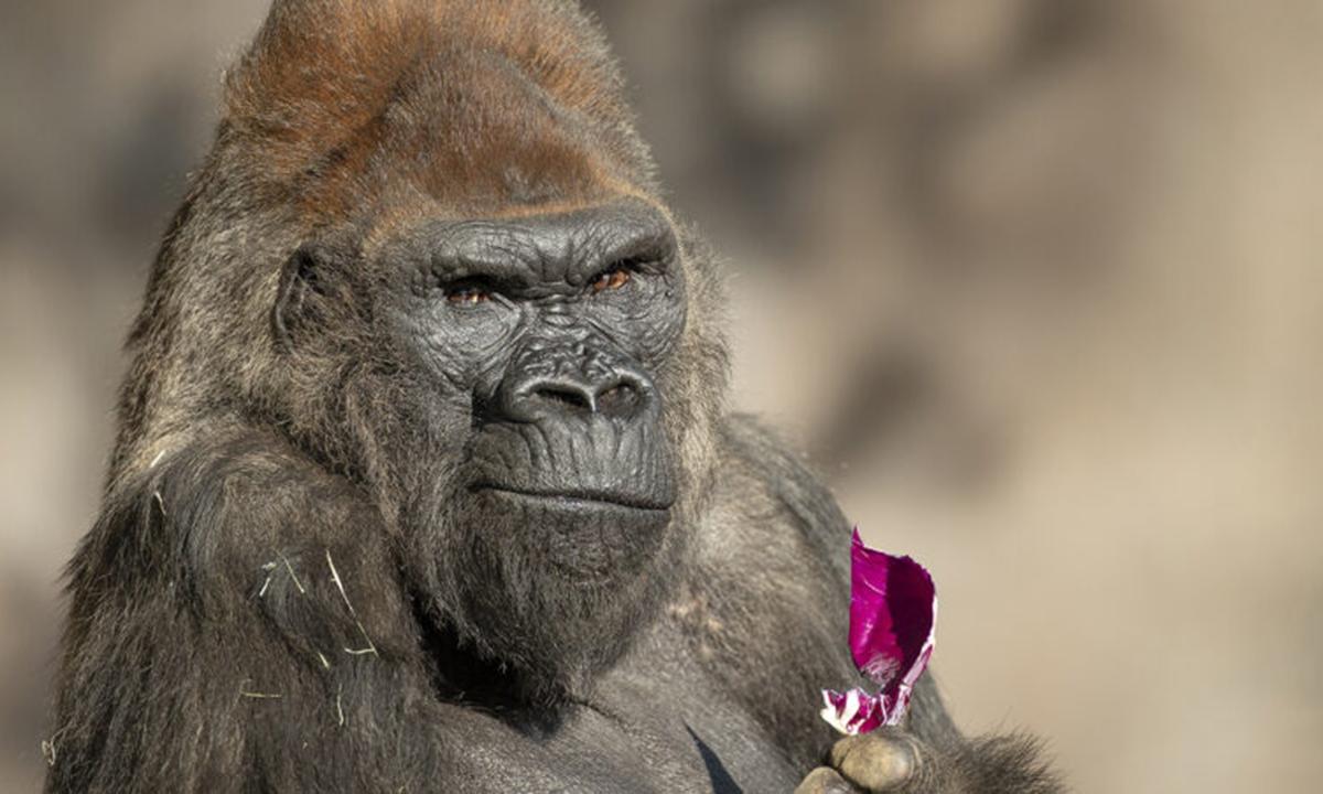 A gorilla is seen at the San Diego Zoo Safari Park, California, the United States. (Photo credit: San Diego Zoo Wildlife Alliance)