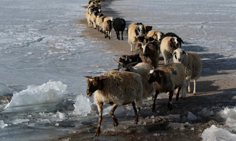 Photo taken on March 6, 2021 shows a herd of sheep walking along a safe path on the frozen Puma Yumco Lake during their annual migration in southwest China's Tibet Autonomous Region.Photo:Xinhua