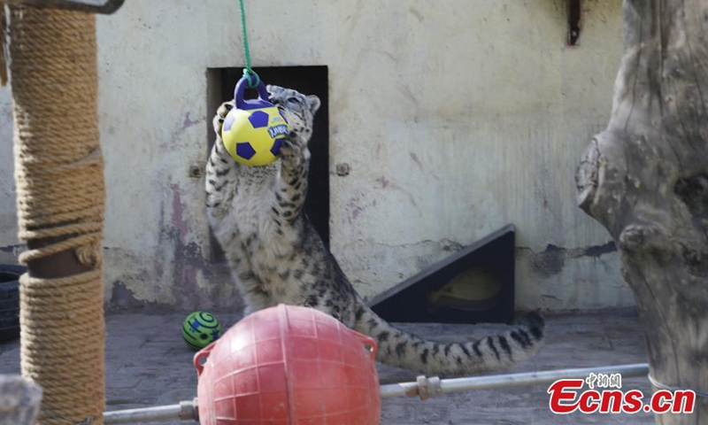 A snow leopard is attracted by the toy ball at the Qinghai-Tibet Plateau Wild Zoo in Xining, northwest China's Qinghai Province, March 11, 2021. Staffs in the Qinghai-Tibet Plateau Wild Zoo provided new toy balls and seesaws for snow leopards and manuls on Thursday.  Photo:China News Service