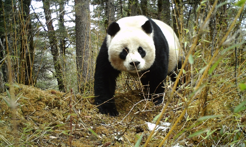 A female panda is seen in the Huanglong Nature Reserve in the Tibetan Autonomous Prefecture of Aba, southwest China's Sichuan Province, April 3, 2019.File photo:Xinhua