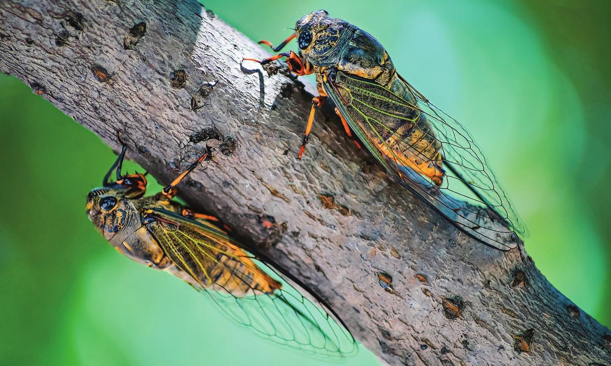A view of  adult cicadas Photo: VCG