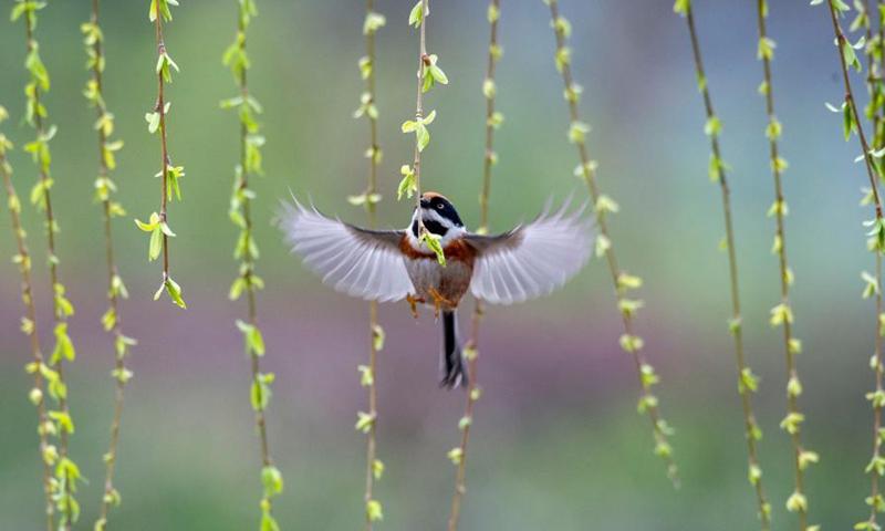 A bird flies in the Guanshe garden in Wuxi, east China's Jiangsu Province, March 16, 2021.(Photo: Xinhua)