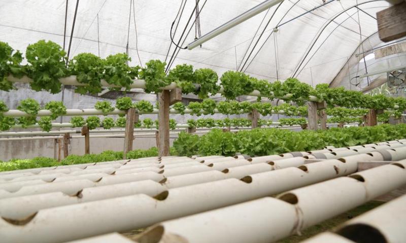 Photo taken on March 15, 2021 shows vegetables grown at a hydroponic farm in Dar es Salaam, Tanzania. (Photo: Xinhua)
