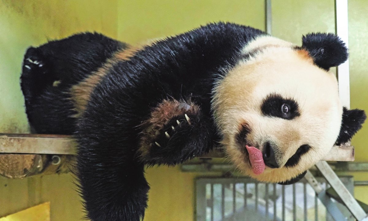 Female panda Huan Huan lies on a platform inside her enclosure after zoo keepers attempted to mate her at the Beauval Zoo in Saint-Aignan, Central France on March 20. Photo: AFP