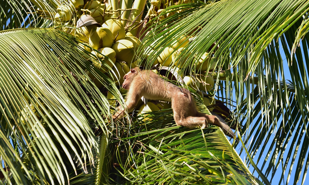 This photo taken on July 9, 2020 shows a macaque climbing a palm tree to knock down coconuts for people to collect in Berapea village near Narathiwat in southern Thailand. Animal rights campaigner PETA released videos in early July of monkey slaves picking coconuts in Thailand, which led several British retailers to ban the products. Thai coconut farmers have denied mistreating the macaques. Photo: AFP