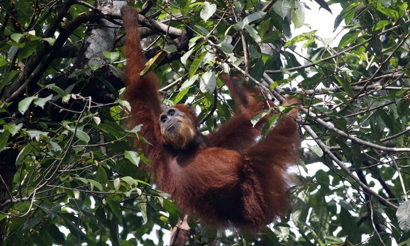 A wild Sumatran Orangutan forages at Ketambe Observational Mount Leuser National Park in Southeast Aceh, Aceh Province, Indonesia, April 4, 2021.(Photo: Xinhua)