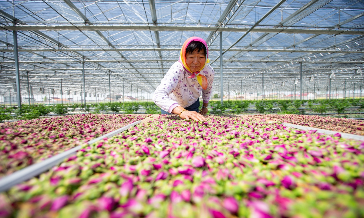 A farmer harvests roses at a planting base in Haian, East China's Jiangsu Province on Tuesday. The region has built a complete industry chain for roses, such as processing and sightseeing, which helps expand locals' incomes. Photo: CNSphoto