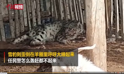 A snow leopard was found resting idly among dozens of sheep in Northwest China's Uygur Autonomous Region after it had sneaked into a sheepfold and killed 19 of them. Photo: screenshot of China News on Sina Weibo.