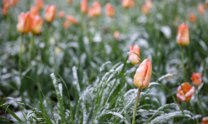 Photo taken on April 6, 2021 shows snow covering tulip buds at the Park of the Fiftieth Anniversary in Brussels, Belgium. (Photo: Xinhua)