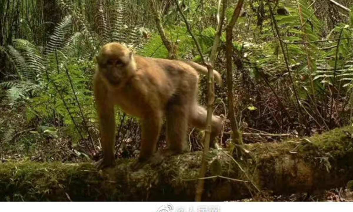 White-cheek macaque Photo: screenshot of video posted on Sina Weibo