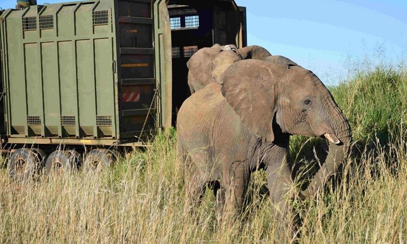 Kenya Wildlife Services (KWS) release stray elephants at Maasai Mara National Reserve in Narok, Kenya, May 19, 2020.(Photo: Xinhua)