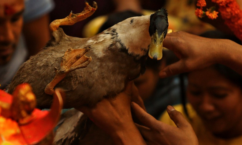 A duck is offered to the god during the Pahchare Chariot Festival in Kathmandu, Nepal, April 12, 2021.(Photo: Xinhua)