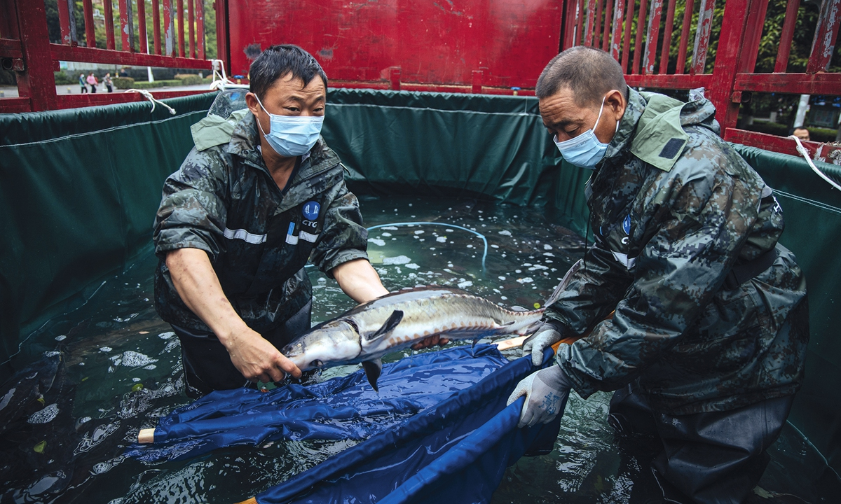 Workers carefully transfer Chinese sturgeons at the release site on April 10in Yichang, Central China's Hubei Province. Photo: Li Hao/GT