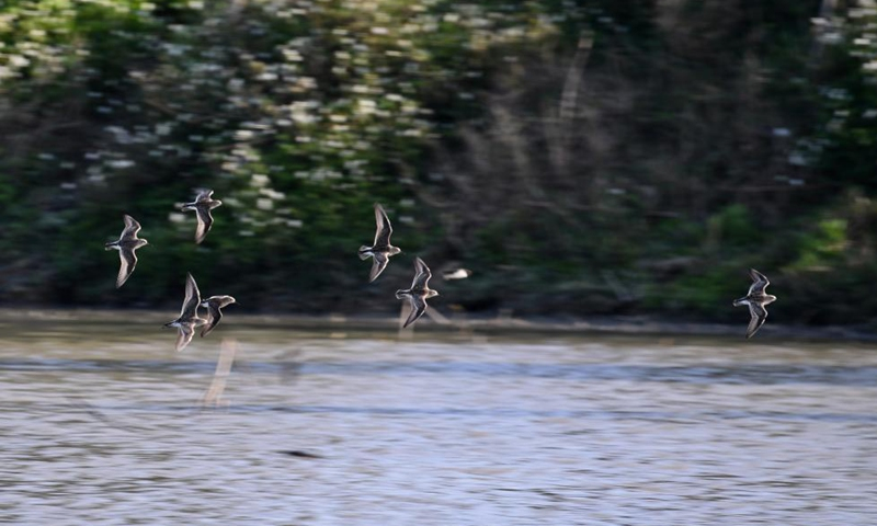 A flock of water birds skim across a water body in the Minjiang River estuary nature reserve in southeast China's Fujian Province, April 20, 2021. Photo: Xinhua