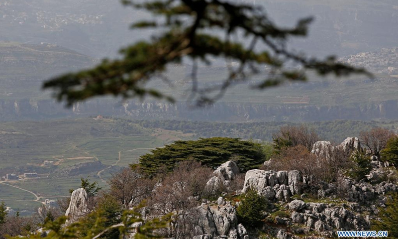 Photo taken on April 18, 2021 shows cedar tree in Maaser El Shouf forest, Lebanon. The Lebanese have always taken pride in their cedar tree, or Cedrus libani, which presents in the middle of their national flag. However, the current situation of the national tree is worrying as the remnants cover only 3 percent of the country, or 17 square kilometers.(Photo: Xinhua)