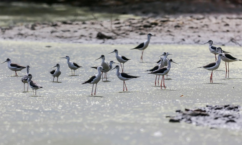 A group of black-winged stilts are seen at the Las Pinas-Paranaque Wetland Park in Las Pinas City, the Philippines, on April 21, 2021.(Photo: Xinhua)