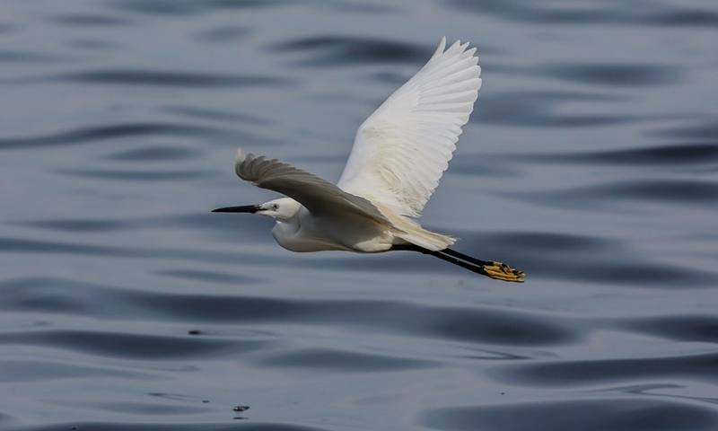 A little egret flies at the Las Pinas-Paranaque Wetland Park in Las Pinas City, the Philippines, on April 21, 2021. (Photo: Xinhua)