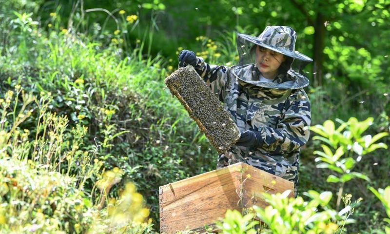 Yuan Xiaomei works at her bee breeding base in Nayong County, southwest China's Guizhou Province, April 29, 2021. (Photo: Xinhua)